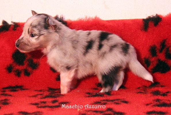 maschio azzurro   peso/weight      480 gr.         prenotato/reserved