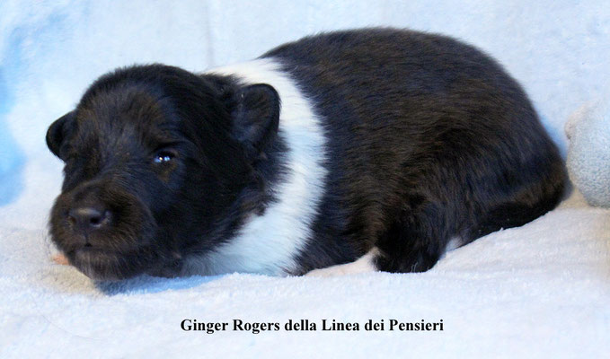 Ginger Rogers     peso/weight    500 gr.        prenotata/reserved