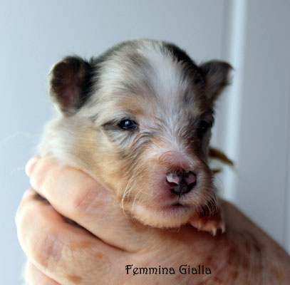 Femmina gialla/ girl yellow                prenotata/reserved
