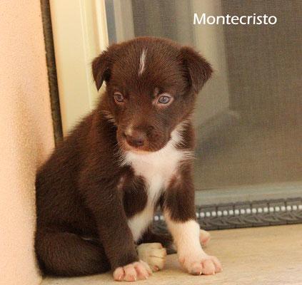 Montecristo      maschio/boy       bianco e marrone/ white brown     disponibile/available