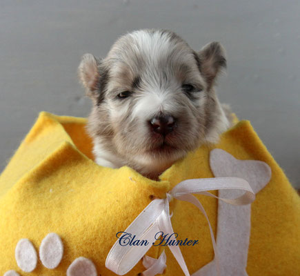 Clun Hunter  femmina blue merle             prenotata