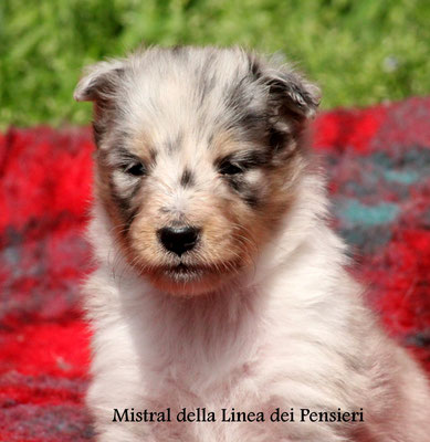 Mistral     femmina/girl    blue merle
