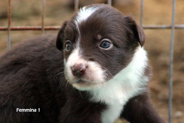Femmina /girl 1     bianco e marrone /white brown     disponibile/available