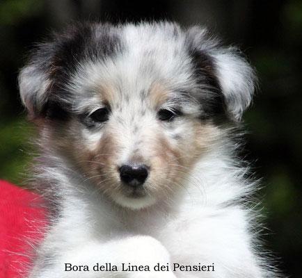 Bora     femmina/girl       blue merle   prenotata/reserved