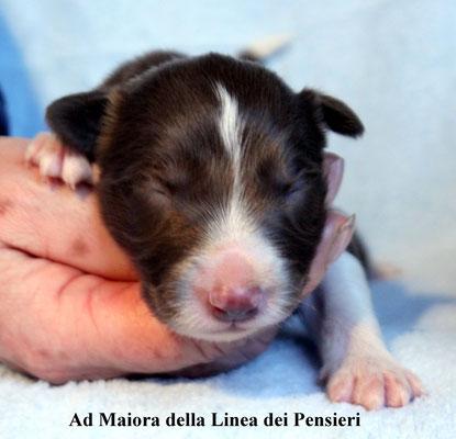 Ad Maiora      maschio/boy   bianco e marrone/ white e brown  disponibile/ available