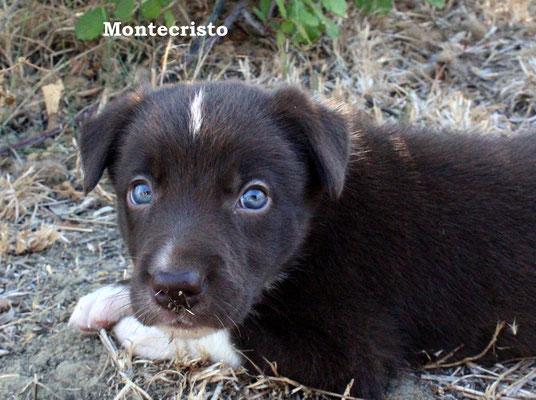Montecristo   maschio/boy       bianco e marrone/white brown    disponibile/available