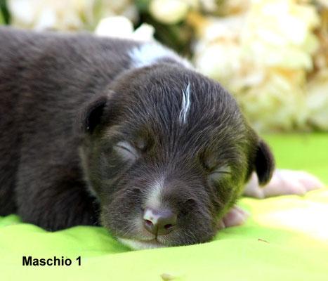 Maschio/boy  1   bianco e marrone/white and brown      disponibile/available