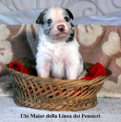 Ubi Maior     maschio/male         red merle    disponibile/available