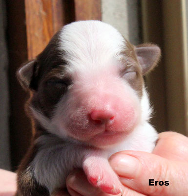 Eros    maschio bianco marrone/ boy white and brown    disponibile/available