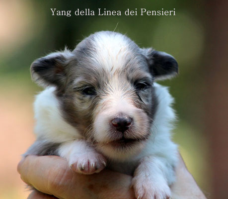 Yang maschio blue merle/ boy blue merle       disponibile/available
