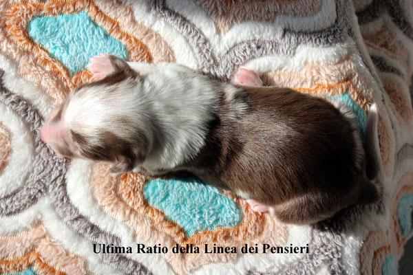 Ultima Ratio          peso alla nascita/birth weight    330 gr.      disponibile/available