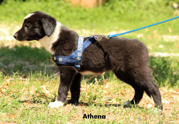 Athena    peso/weight  3,320  kg.        resta all'allevamento/stay to the breeder