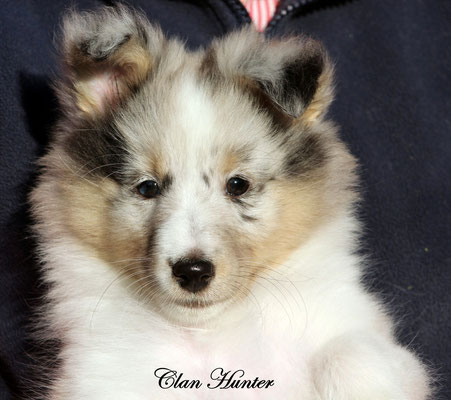 Clan Hunter    femmina blue merle                   prenotata
