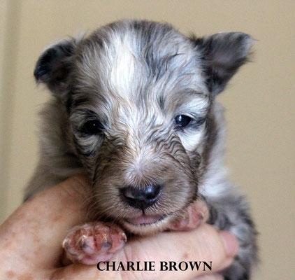 CHARLIE BROWN   maschio/boy       blue merle     prenotato/reserved