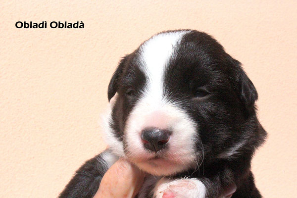 Obladì Obladà      maschio /boy       bianco nero     disponibile/available