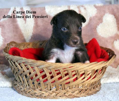 Carpe Diem    femmina/female      bianca e marrone/white brown   prenotata/reserved
