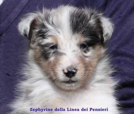 Zephyrine femmina/girl            blue merle            prenotata/reserved