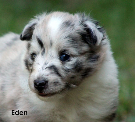 Eden  femmina/girl     biblue       resta all'allevamento/ stay at the breeder