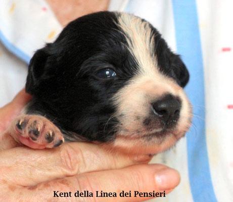 Kent       maschio bianco e nero/ boy biblack           disponibile/available