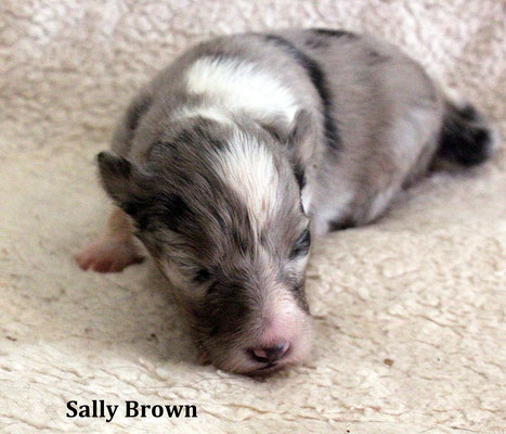 Sally Brown  femmina/girl                blue merle     prenotata/reserved