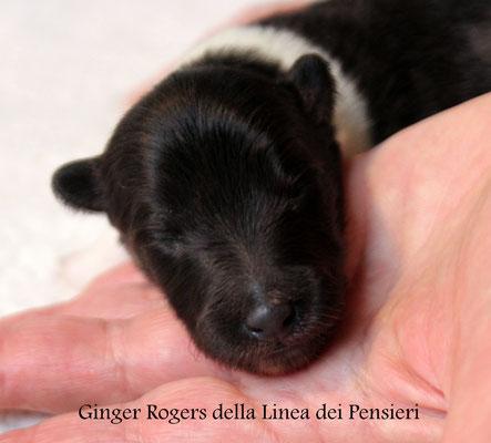 Ginger Rogers             femmina bianco e nera               prenotata