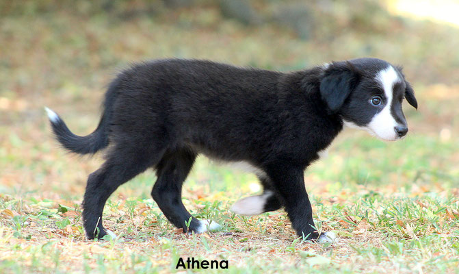 Athena   peso/weight    2,590 kg.             resta all'allevamento/stay to the breder