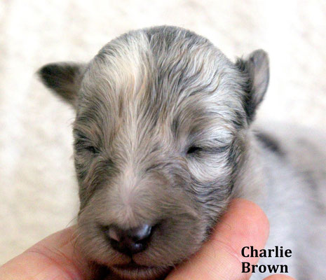 Charlie Brown   maschio/boy         bluemerle        disponibile/available