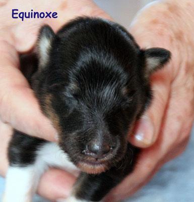 Equinoxe    femmina/girl       tricolore        prenotata/reserved