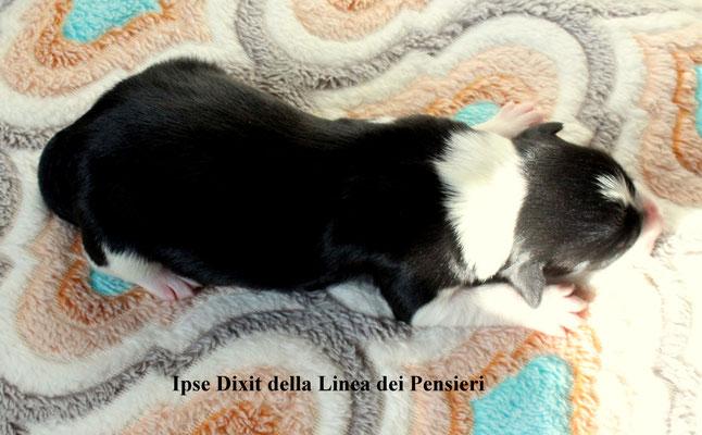 Ipse Dixit          peso alla nascita/ birth weight    390 gr.    disponibile/available