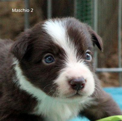 Maschio /boy 2    bianco e marrone/white brown        disponibile/available