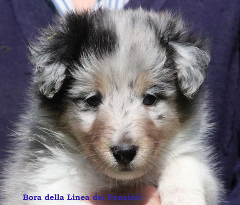 Bora     femmina/girl            blue merle   prenotata /reserved