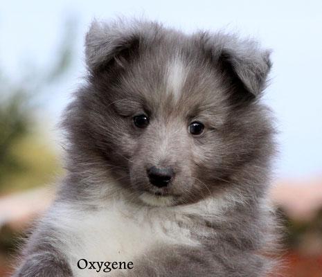 Oxygene   maschio/boy   biblue cryptic merle    prenotato/reserved