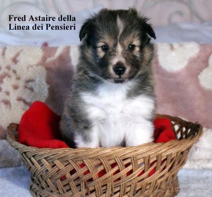 Fred Astaire   maschio/male  fulvo e bianco /white and fauve   prenotato/ reserved