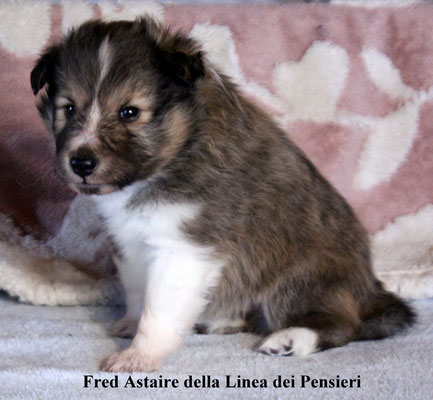 Fred Astaire       peso/weight   960 gr.           prenotato/reserved