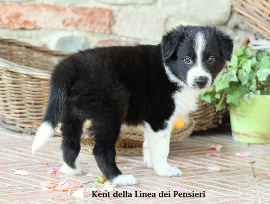 Kent       peso/weight  :  2,790  kg.      disponibile/available