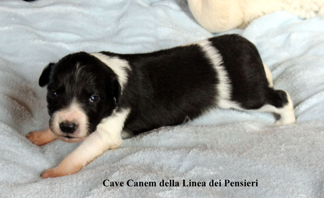Cave Canem      peso/weight     720  gr.       prenotata/reserved