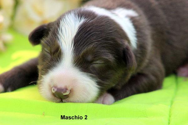 Maschio/boy 2   bianco e marrone /white and brown     disponibile/available
