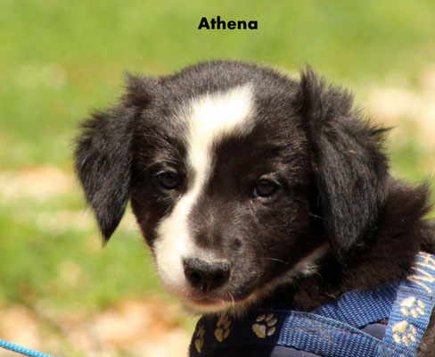 Athena     femmina/girl           biblack        resta all'allevamento/stay to the breeder