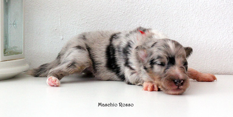 Maschio rosso/ boy red         peso/weight    330  gr.   prenotato/reserved