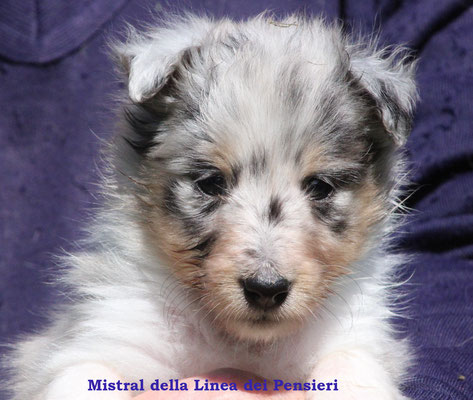 Mistral   femmina/girl          blue merle              prenotata/reserved