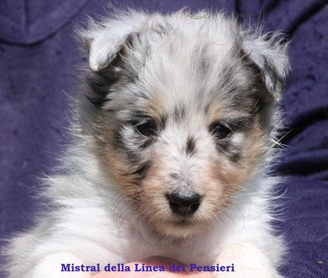Mistral   femmina/girl          blue merle              prenotata/reserved
