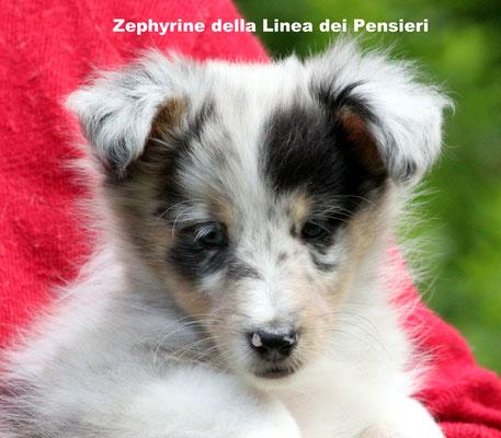 Zephyrine    femmina/girl            blue merle      prenotata/ reserved