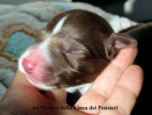 Ad Maiora  maschio/male     bianco e marrone  white/brown  disponibile/available