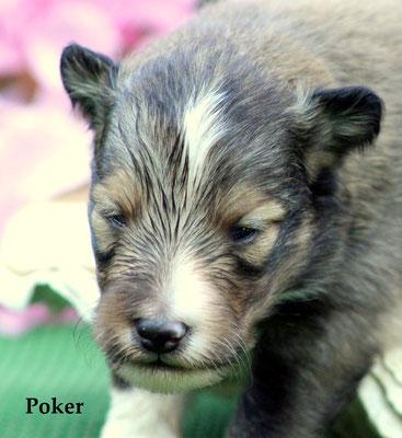 Poker   maschio/boy     fulvo            prenotato/ resreved