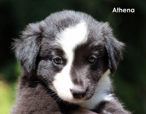Athena          femmina/girl        biblack                     resta all'allevamento/ stay to the breeder