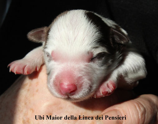 Ubi Maior         maschio/ male        red merle        disponibile/available