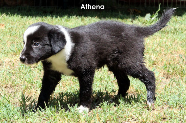 Athena         peso/weight   2,180 kg.           resta all'allevamento/stay to the breeder