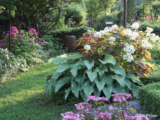 Eichenblättrige Hortensie mit Funkie im Garten Pelzer
