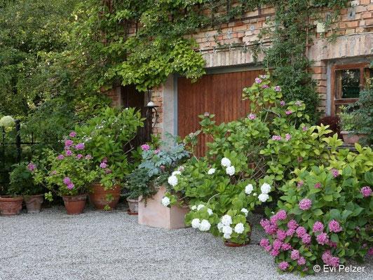 Hortensien als Kübelpflanzen in Monis Rosengarten