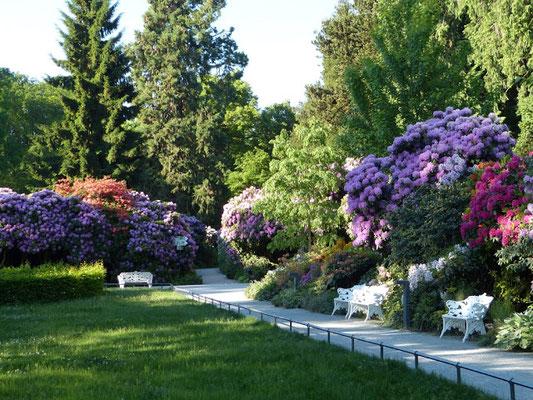 Ende Mai ist die Rhododendronblüte noch in vollem Gange.